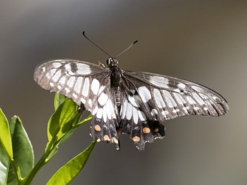 Papilio anactus at Michelago, NSW - 23 Feb 2019