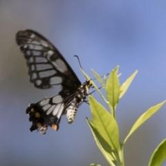 Papilio anactus at Illilanga & Baroona - 23 Feb 2019