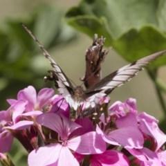Papilio aegeus (Orchard Swallowtail) at Illilanga & Baroona - 23 Feb 2019 by Illilanga