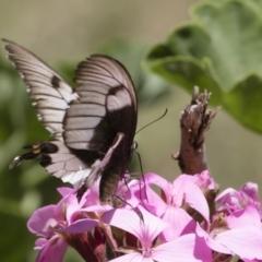 Papilio aegeus at Michelago, NSW - 23 Feb 2019