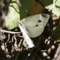 Pieris rapae (Cabbage White) at Illilanga & Baroona - 23 Feb 2019 by Illilanga