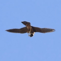 Falco longipennis (Australian Hobby) at Illilanga & Baroona - 9 Jan 2019 by Illilanga
