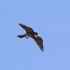 Falco longipennis at Michelago, NSW - 9 Jan 2019