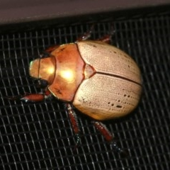 Anoplognathus sp. (Christmas beetle) at Rosedale, NSW - 16 Mar 2019 by jbromilow50
