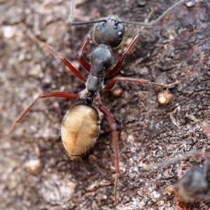 Camponotus suffusus at ANBG - 21 Mar 2019
