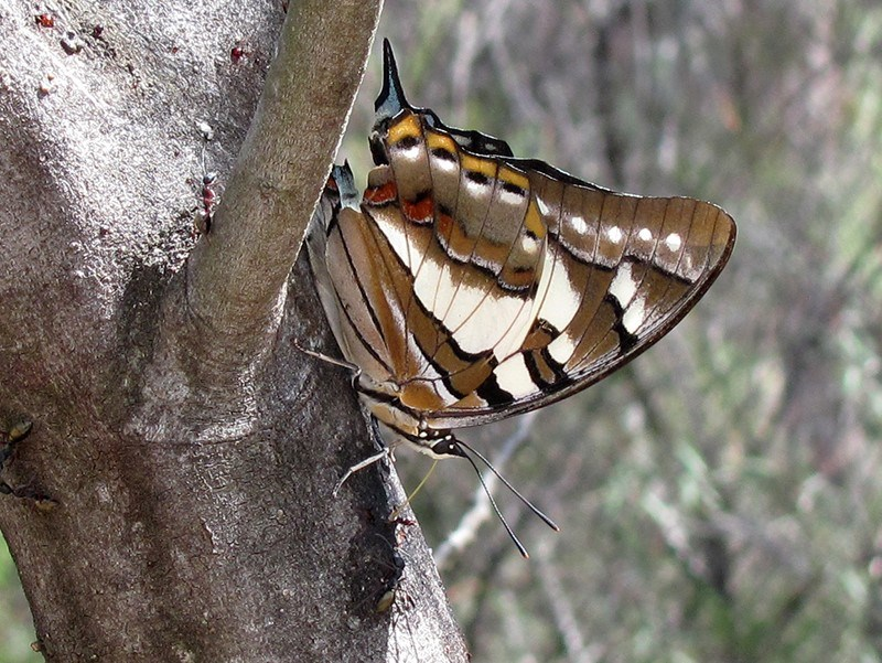 Charaxes sempronius at ANBG - 21 Mar 2019