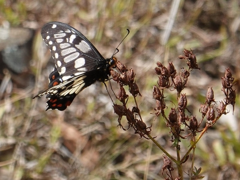 Papilio anactus at Red Hill Nature Reserve - 19 Mar 2019