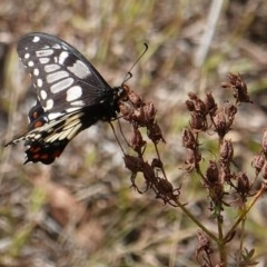 Papilio anactus (Dainty Swallowtail) at Red Hill Nature Reserve - 19 Mar 2019 by JackyF