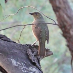 Ptilonorhynchus violaceus (Satin Bowerbird) at Red Hill Nature Reserve - 18 Mar 2019 by JackyF