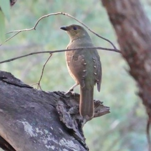 Ptilonorhynchus violaceus at Red Hill Nature Reserve - 18 Mar 2019