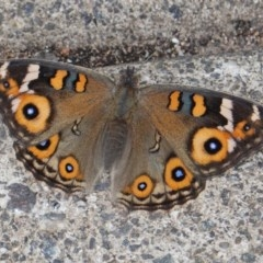 Junonia villida (Meadow Argus) at Hughes, ACT - 19 Mar 2019 by JackyF
