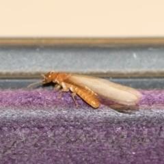 Termitoidae sp. (informal group) at Michelago, NSW - 15 Dec 2018