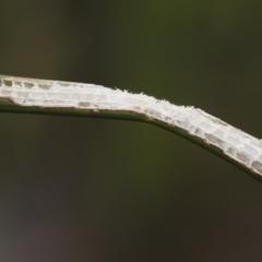 Bermius brachycerus at Illilanga & Baroona - 17 Mar 2019