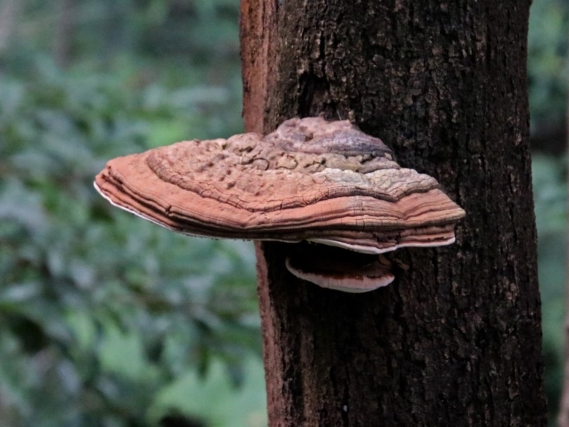 Ganoderma at ANBG - 21 Mar 2019
