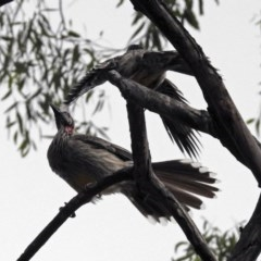Anthochaera carunculata (Red Wattlebird) at ANBG - 21 Mar 2019 by RodDeb