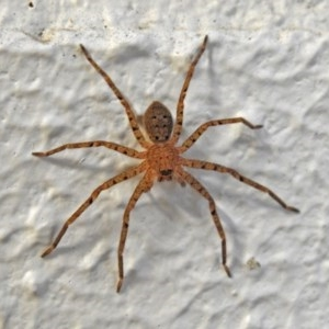 Sparassidae sp. (family) at ANBG - 21 Mar 2019