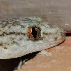 Christinus marmoratus (Southern Marbled Gecko) at Evatt, ACT - 19 Mar 2019 by Tim L