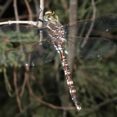 Adversaeschna brevistyla (Blue-spotted Hawker) at Majura, ACT - 21 Mar 2019 by jbromilow50