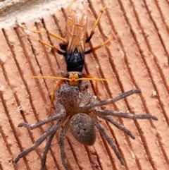 Cryptocheilus sp. (genus) (Spider wasp) at Macquarie, ACT - 26 Dec 2014 by Heino1
