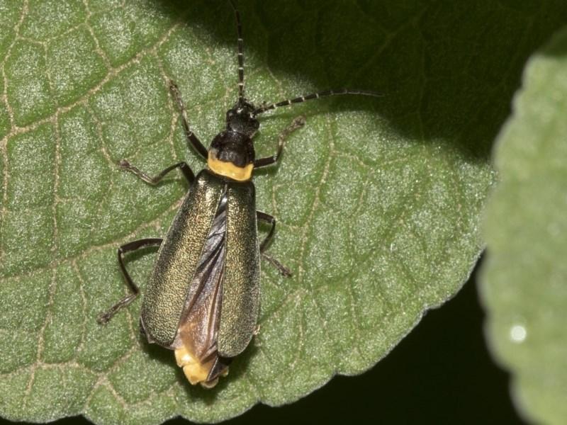 Chauliognathus lugubris at ANBG - 21 Mar 2019