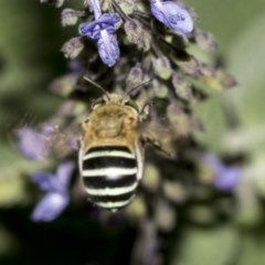 Amegilla (Zonamegilla) asserta (Blue Banded Bee) at ANBG - 21 Mar 2019 by AlisonMilton