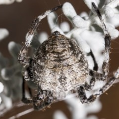 Eriophora pustulosa (Knobbled Orbweaver) at ANBG - 21 Mar 2019 by AlisonMilton