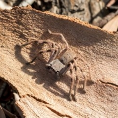 Isopeda sp. (genus) (Huntsman Spider) at Higgins, ACT - 20 Mar 2019 by AlisonMilton