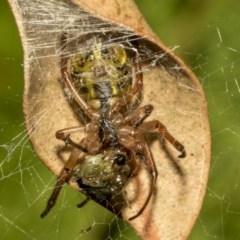 Phonognatha graeffei (Leaf-curling spider) at ANBG - 21 Mar 2019 by AlisonMilton