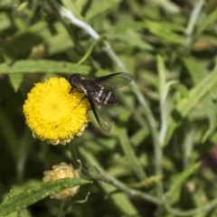 Villa sp. (genus) (Unidentified Villa bee fly) at ANBG - 16 Mar 2019 by AlisonMilton