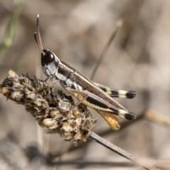Macrotona australis (Common Macrotona Grasshopper) at Mount Rogers - 11 Mar 2019 by AlisonMilton