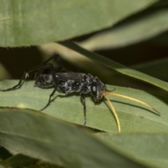 Pompilidae sp. (family) (Unidentified Spider wasp) at Higgins, ACT - 17 Mar 2019 by AlisonMilton