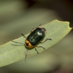 Aporocera (Aporocera) consors (A leaf beetle) at Higgins, ACT - 17 Mar 2019 by AlisonMilton