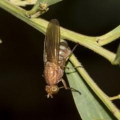 Lauxaniidae sp. (family) (Unidentified lauxaniid fly) at Higgins, ACT - 17 Mar 2019 by AlisonMilton