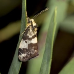 Anestia (genus) (A tiger moth) at Higgins, ACT - 18 Mar 2019 by AlisonMilton
