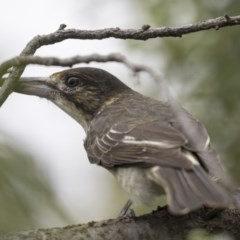 Cracticus torquatus (Grey Butcherbird) at Higgins, ACT - 17 Mar 2019 by Alison Milton
