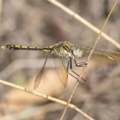 Orthetrum caledonicum (Blue Skimmer) at Mount Rogers - 11 Mar 2019 by AlisonMilton
