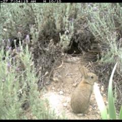 Oryctolagus cuniculus (European Rabbit) at Illilanga & Baroona - 26 Nov 2018 by Illilanga