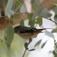Pardalotus punctatus (Spotted Pardalote) at Illilanga & Baroona - 17 Mar 2019 by Illilanga