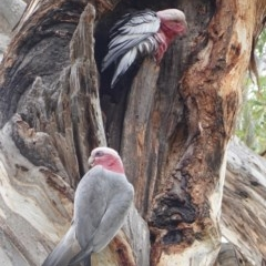 Eolophus roseicapillus (Galah) at Red Hill Nature Reserve - 22 Mar 2019 by JackyF