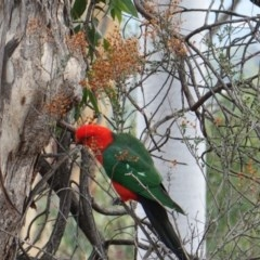 Alisterus scapularis (Australian King-Parrot) at Red Hill Nature Reserve - 22 Mar 2019 by JackyF