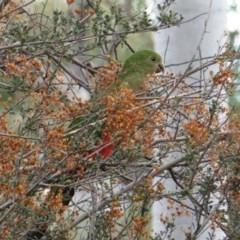 Alisterus scapularis at Red Hill Nature Reserve - 22 Mar 2019