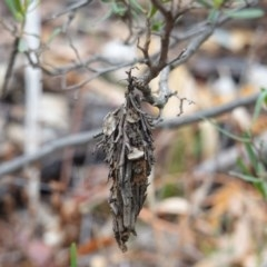 Hyalarcta huebneri (Leafy Case Moth) at Red Hill Nature Reserve - 22 Mar 2019 by JackyF