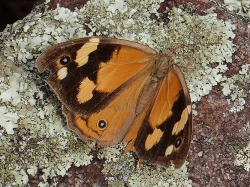 Heteronympha merope at Red Hill Nature Reserve - 22 Mar 2019