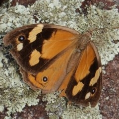 Heteronympha merope (Common Brown) at Red Hill Nature Reserve - 22 Mar 2019 by JackyF