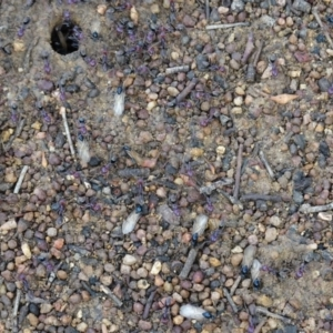 Iridomyrmex purpureus at Red Hill Nature Reserve - 22 Mar 2019