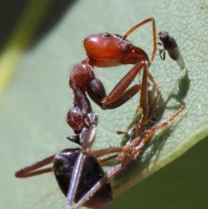 Milichiidae (family) at ANBG - 20 Mar 2019