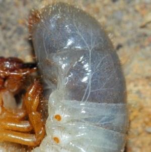 Scarabaeidae sp. (family) at ANBG - 20 Mar 2019