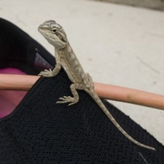 Pogona barbata (Eastern Bearded Dragon) at Illilanga & Baroona - 4 Mar 2019 by Illilanga