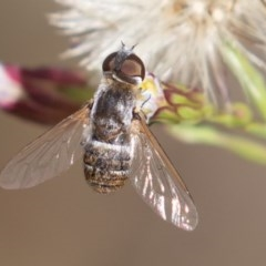 Villa sp. (genus) (Unidentified Villa bee fly) at National Arboretum Forests - 22 Mar 2019 by rawshorty