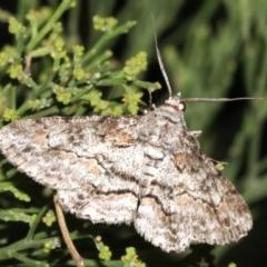 Cleora (genus) (A Looper Moth) at Mount Ainslie - 5 Mar 2019 by jbromilow50